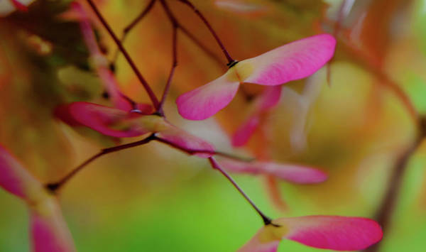 Photograph - Japanese Maple Seedlings by Brenda Jacobs