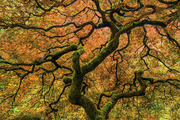 Portland Photograph - Japanese Maple Tree by Larry Marshall