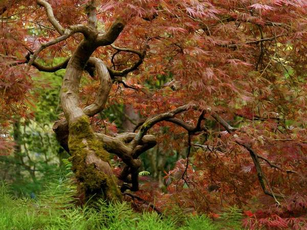 Photograph - Japanese Maple Tree by Patricia Strand