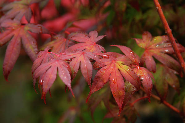 Photograph - Japanese Maple With Raindrops 1787 H_2 by Steven Ward