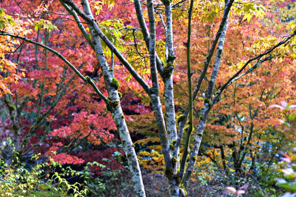 Photograph - Japanese Maples In Full Color by Vicki Hone Smith