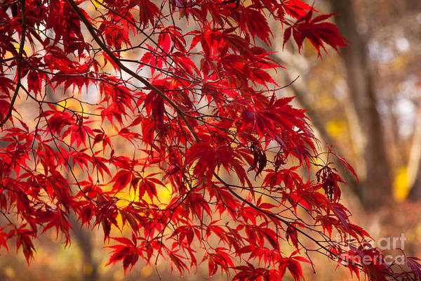 Wall Art - Photograph - Japanese Maples by Susan Cole Kelly