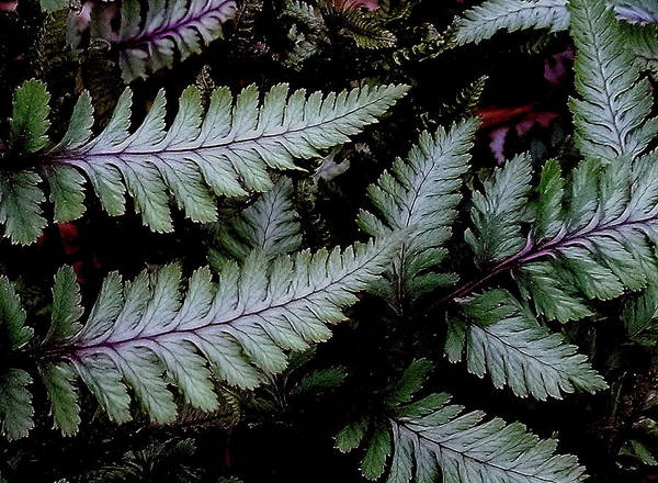 Photograph - Japanese Painted Fern by Allen Nice-Webb