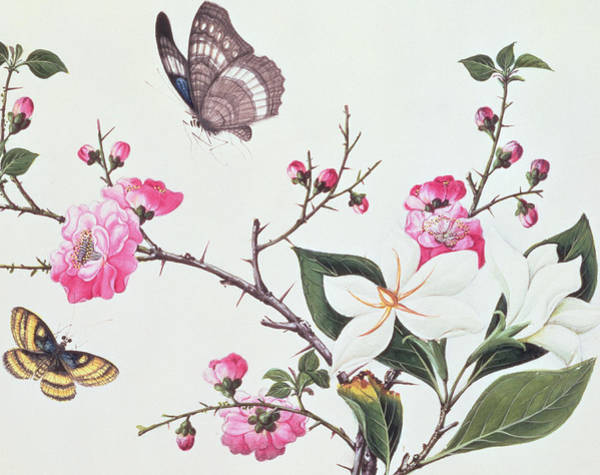 Wall Art - Painting - Japonica Magnolia And Butterflies by Chinese School