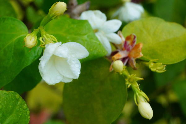 Wall Art - Photograph - Jasmine Blossom by Beth Collins