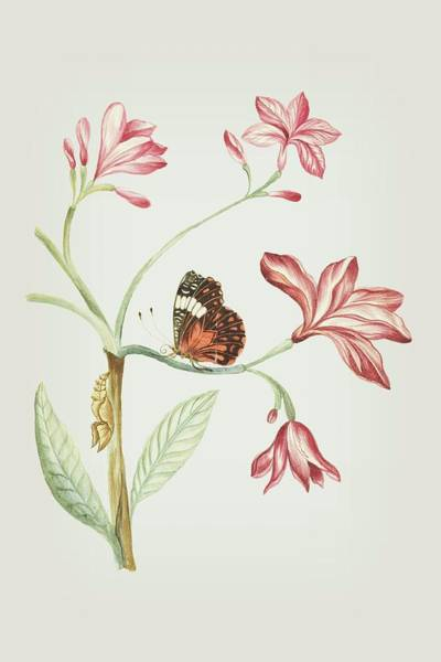 Mixed Media - Jasmine Tree Branch With Caterpillar And Sitting Butterfly By Cornelis Markee 1763 by Cornelis Markee