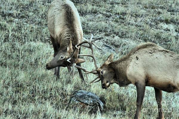 Photograph - Jasper Elk Battle by Adam Jewell