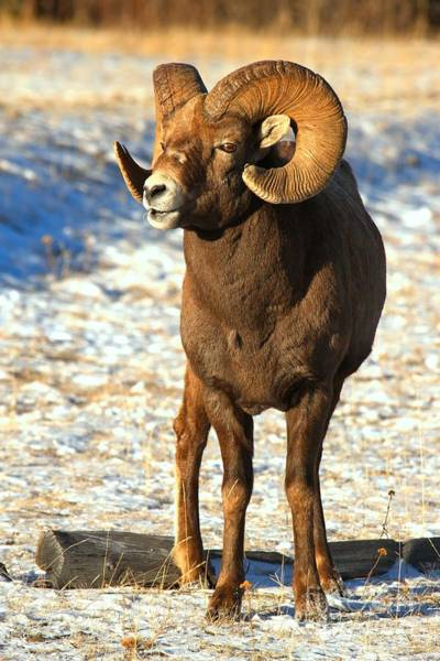 Photograph - Jasper Glowing Bighorn by Adam Jewell