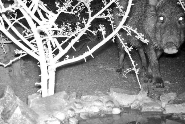 Photograph - Javelina - Collared Peccary - At Night by Judy Kennedy