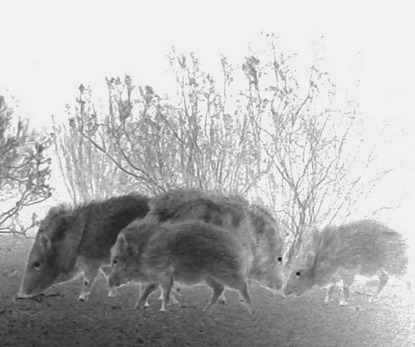 Photograph - Javelinas In The Desert by Judy Kennedy