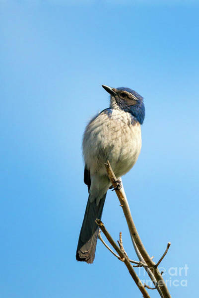 Scrub Jay Photograph - Jay Bird by Mike Dawson