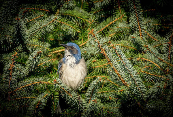 Photograph - Jay In Tree by Bill Posner