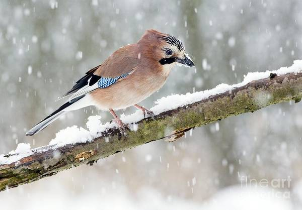 Photograph - Jay Perching In Winter by John Devries