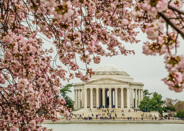 Photograph - Jefferson Framed By Cherry Blossoms by Karen Saunders