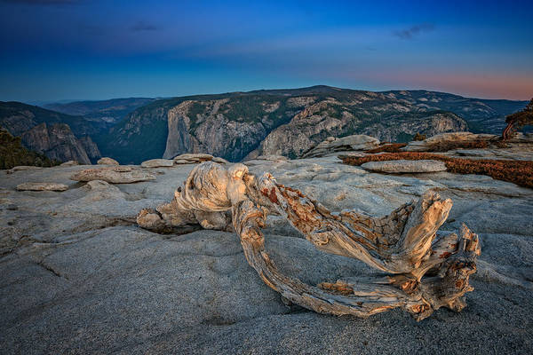 Photograph - Jeffrey Pine On Sentinel Dome by Rick Berk