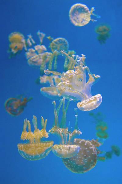 Photograph - Jellyfish 4 by Lynn Bauer