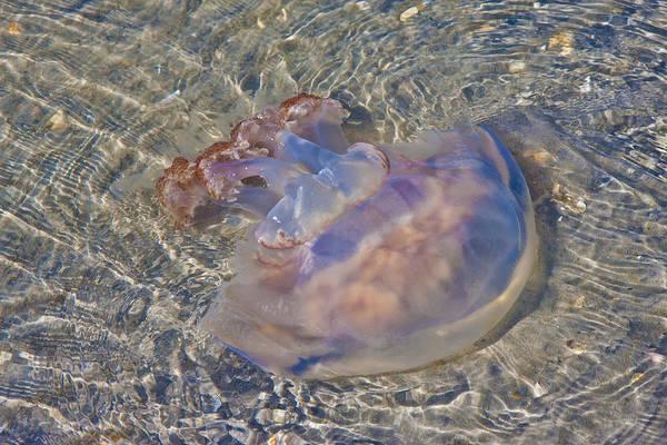 Wall Art - Photograph - Jellyfish by Betsy Knapp