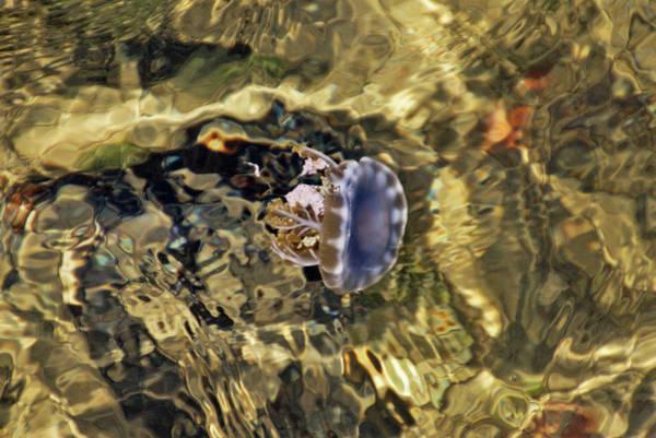 Photograph - Jellyfish by Bob Slitzan