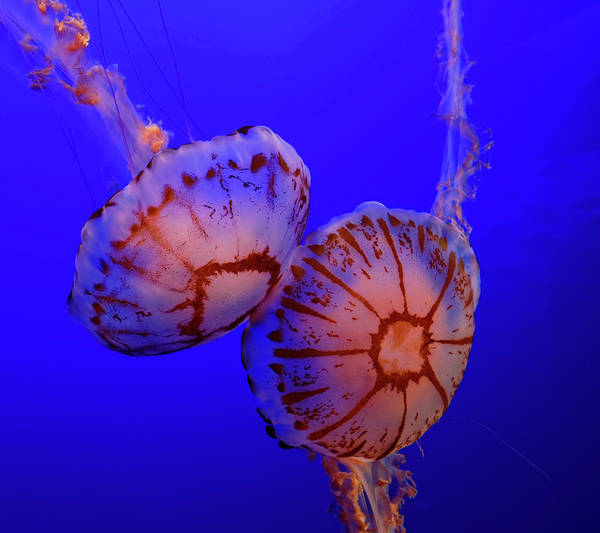 Photograph - Jellyfish by Peter Ponzio