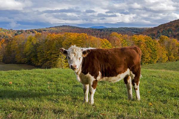 Photograph - Jenne Farm Brown Cow Reading Vermont Vt by Toby McGuire