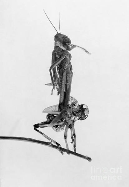 Photograph - Jerusalem: Locusts, 1915 by Granger