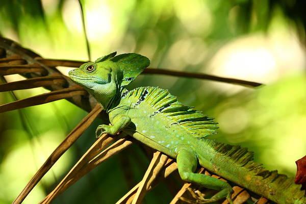 Cahuita Photograph - Jesus Lizard by ByetPhotography
