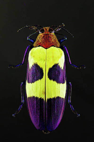 Photograph - Jewel Beetle by Gary Shepard