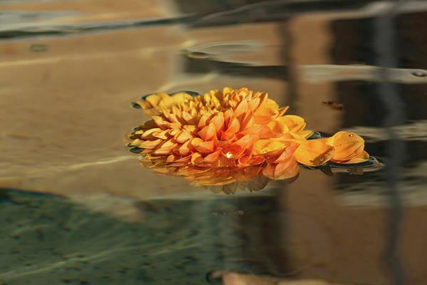 Photograph - Jewel Drops - Orange Chrysanthemum Bloom Floating In A Fountain by Georgia Mizuleva