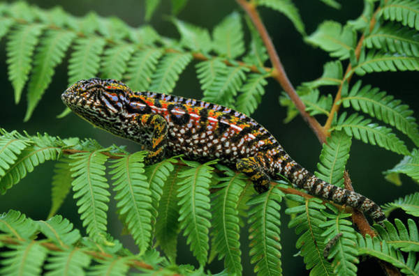 Fn Photograph - Jeweled Chameleon Furcifer Lateralis by Ingo Arndt