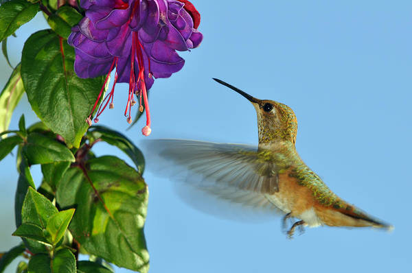 Humming Bird Wall Art - Photograph - Jeweled Rufous In Afternoon Light by Laura Mountainspring