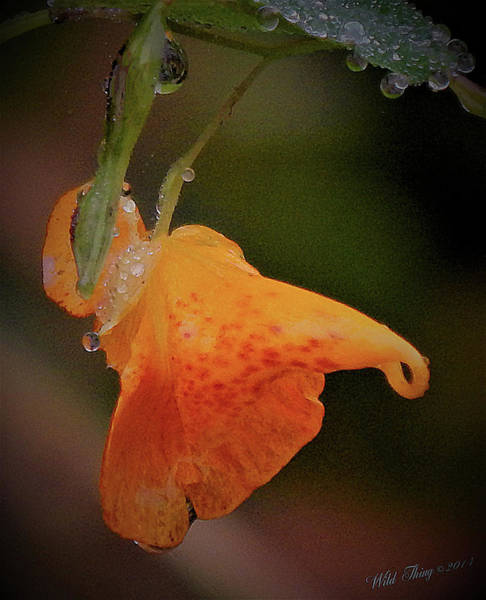 Photograph - Jewelweed Bejeweled by Wild Thing