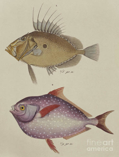 Angling Art Wall Art - Drawing - John Dory And Opah by German School