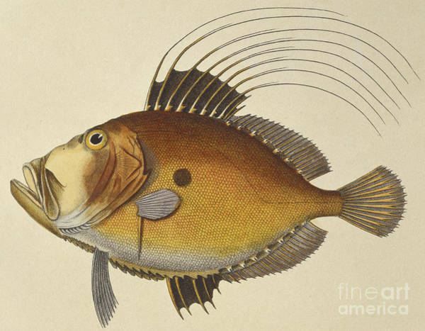 Angling Art Wall Art - Drawing - John Dory by French School