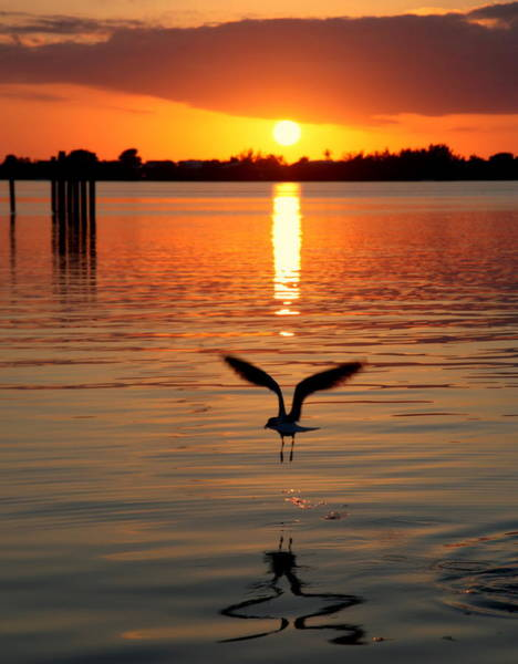 Photograph - Jonathan Livingston Seagull by Karen Wiles