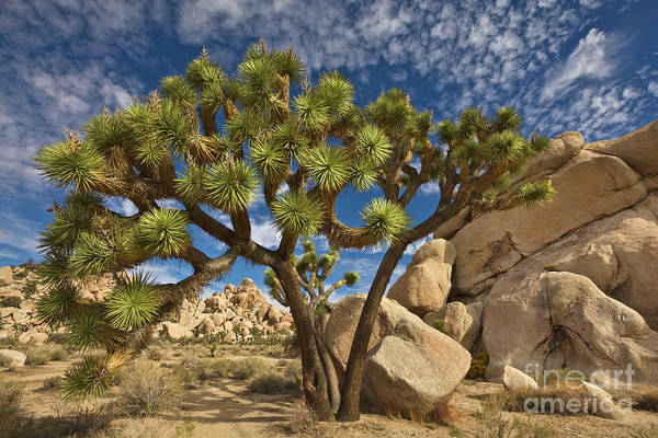 Photograph - Joshua Tree And Blue Sky by Yva Momatiuk John Eastcott
