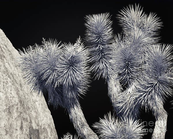 Photograph - Joshua Tree Black And White Seleneum by Blake Webster