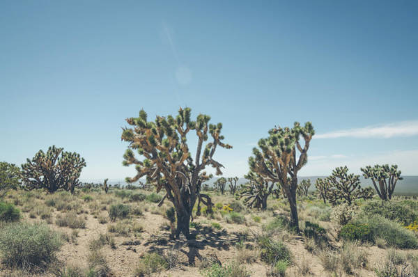 Photograph - Joshua Tree Forest by Margaret Pitcher