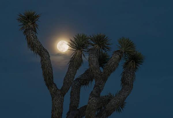 Between The Trees Photograph - Joshua Tree Full Moon by Loree Johnson