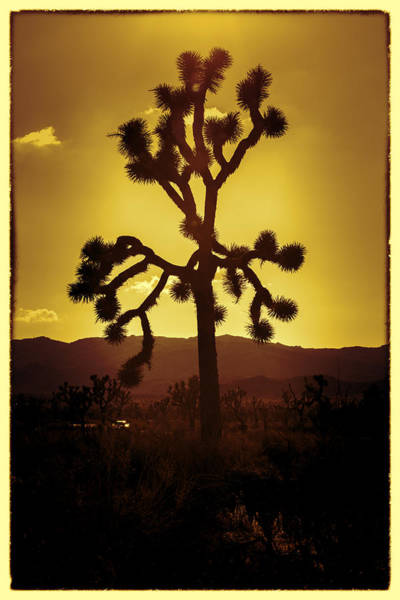 Scrub Photograph - Joshua Tree Glow #2 by Stephen Stookey