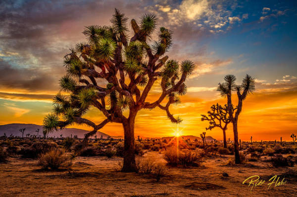 Photograph - Joshua Tree Glow by Rikk Flohr