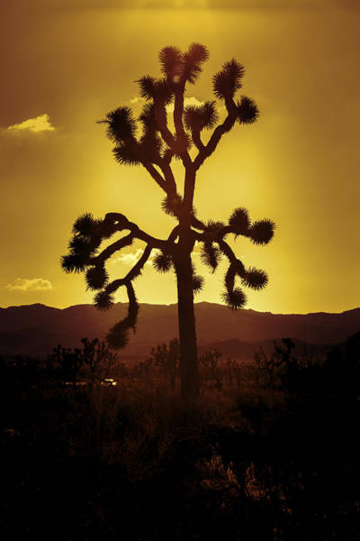 Nps Wall Art - Photograph - Joshua Tree Glow by Stephen Stookey