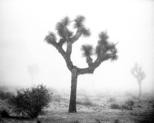 Yucca Palm Photograph - Joshua Tree In Fog by Alex Snay