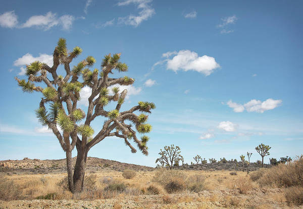 Photograph - Joshua Tree by Jon Exley