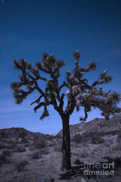 Yucca Palm Photograph - Joshua Tree by Juli Scalzi