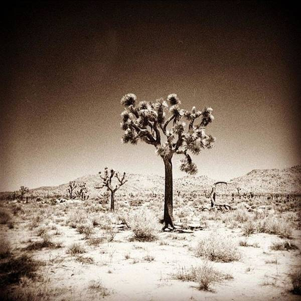 Fineart Wall Art - Photograph - Joshua Tree Taken With A #holga  #film by Alex Snay