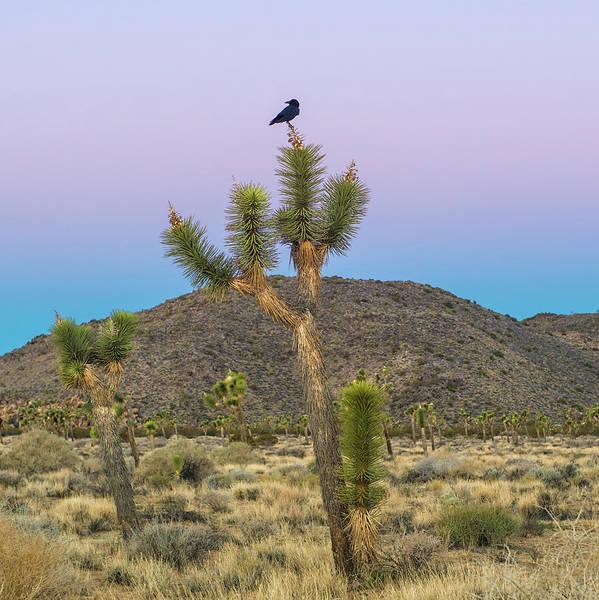 Mojave Photograph - Joshua Tree With Crow by Joseph Smith