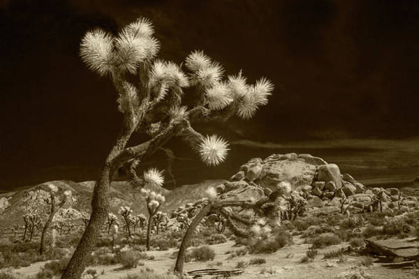 Photograph - Joshua Trees And Boulders In Infrared Sepia Tone by Randall Nyhof