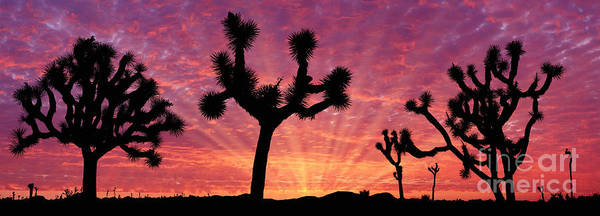 Photograph - Joshua Trees At Sunrise by Warren Photographic