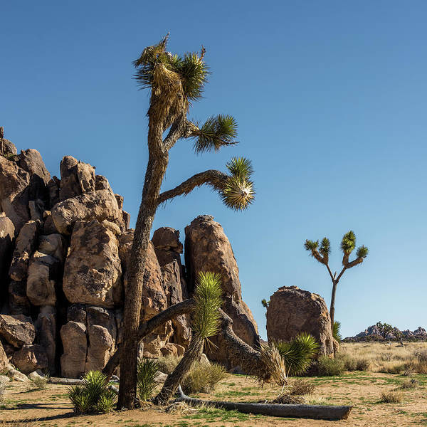 Wall Art - Photograph - Joshua Trees by Paul Freidlund