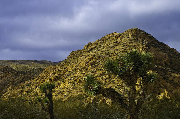 Photograph - Joshua Trees by Sherri Meyer